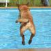 Thumbnail for Dog Swim Safety